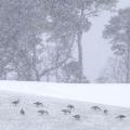 <center>Snow Geese